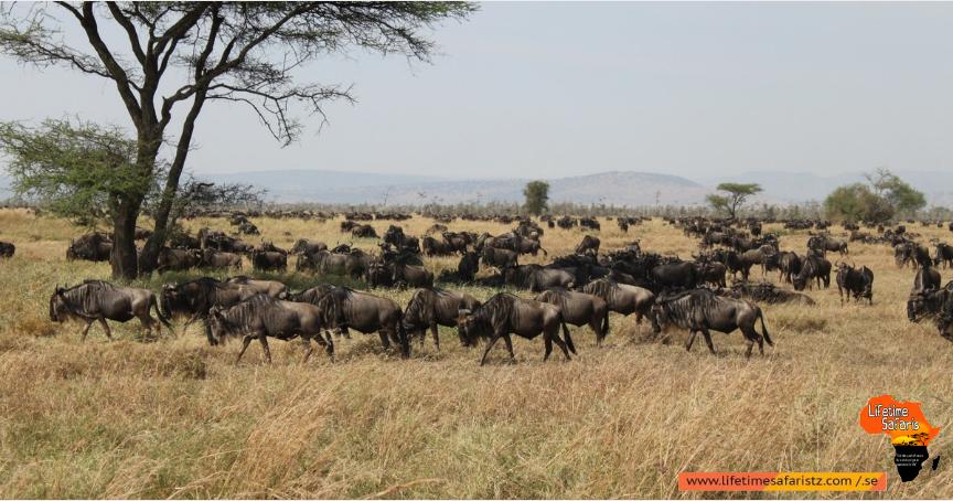 Tanzania Wildebeest Calving in Winter Season