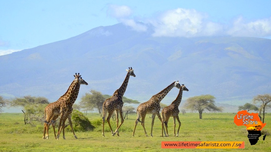 See The World's Largest Population Of Giraffes – Arusha National Park