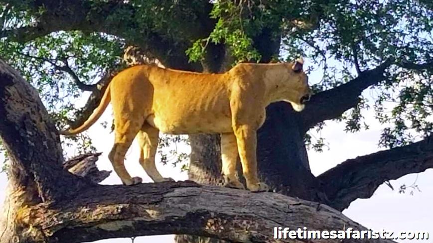 Home Of The Tree Climbing Lions - Lake Manyara National Park