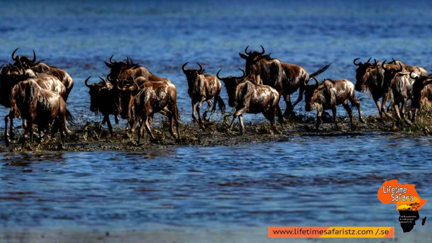Process To Have The Best Vision Of Wildebeest Migration