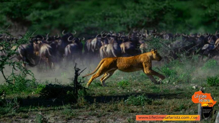 Wildlife's Take Part In Great Wildebeest Migration