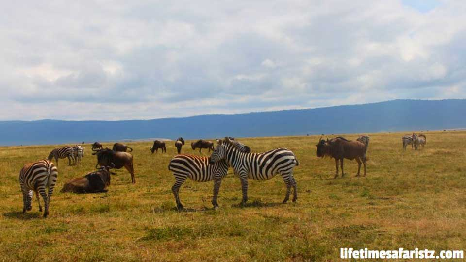 how-to-experience-great-wildebeest-migration-in-your-tanzania-safari-tours-featured
