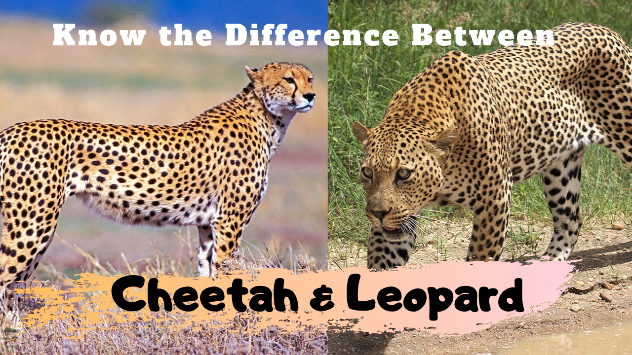 Know the Difference Between Cheetah & Leopard