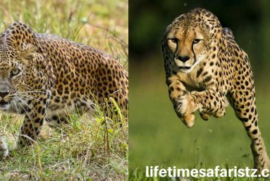 know-the-difference-between-cheetah-leopard-featured