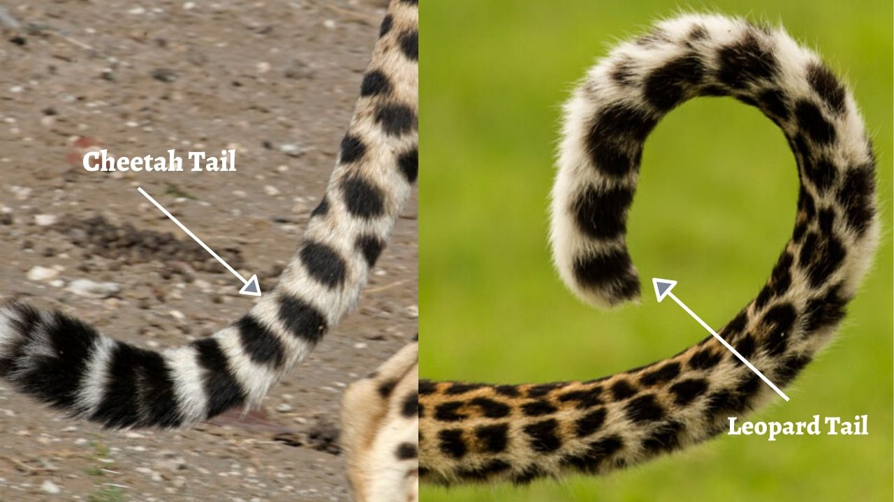 Cheetahs and leopards have Long Tails