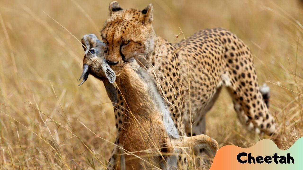 Cheetah Catch the Prey