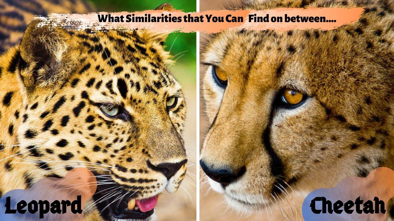 Similarities between cheetah and Leopard