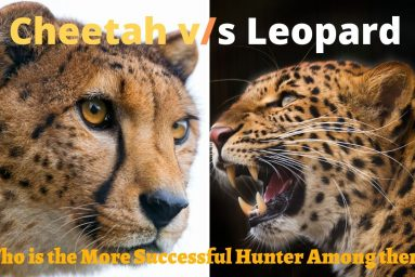Cheetah vs. Leopard Race