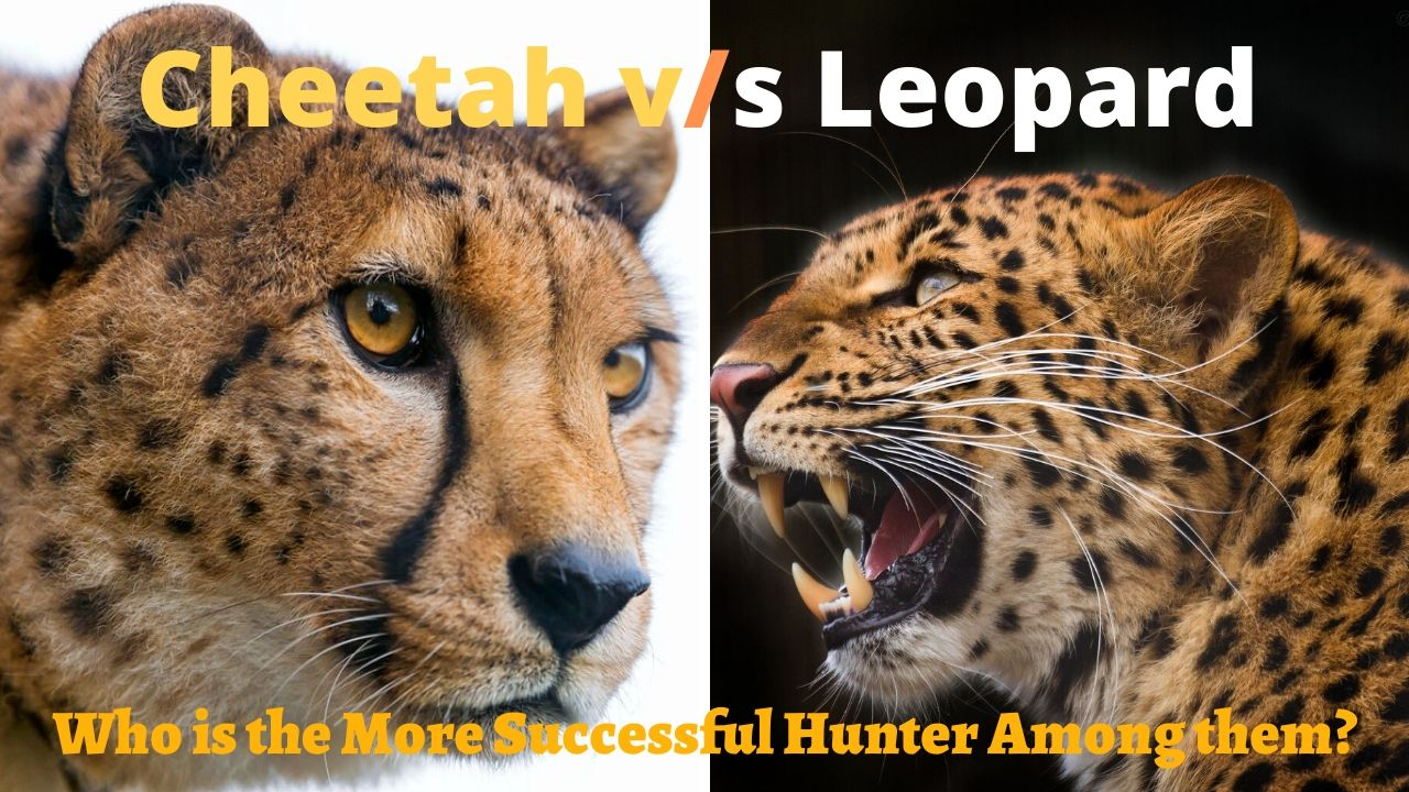 Cheetah vs. Leopard Race
