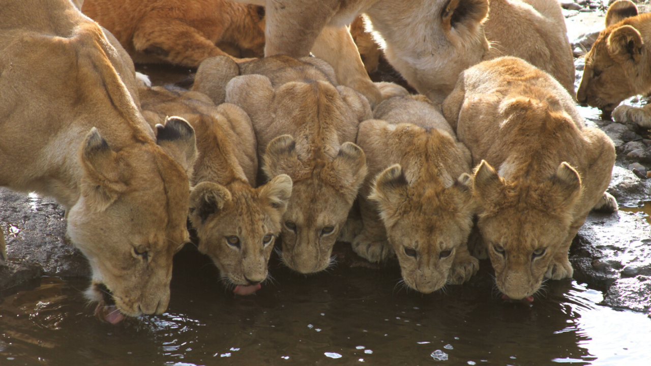 Pride of lions near Seronera River Valley