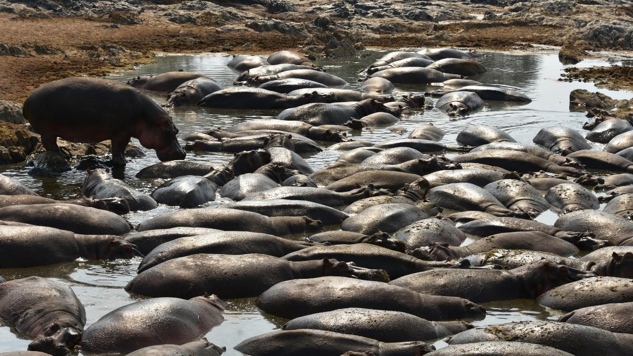 Hippo pool in Serengeti