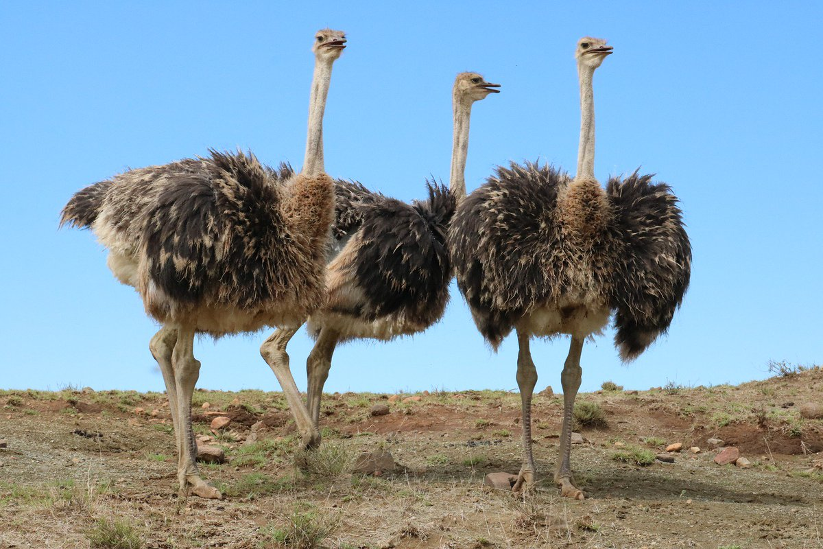 Ostrich Are Strong Runners