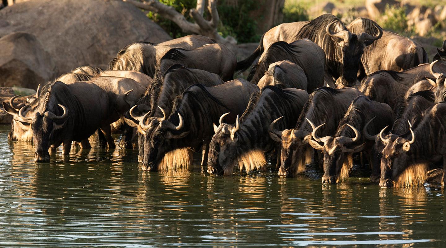 Wildebeest And Calf Run Through Serengeti